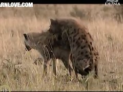 Hyena Mating 4 Barnlovecom[mp4]