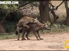 Hyenas Mating 2 Barnlovecom[mp4]
