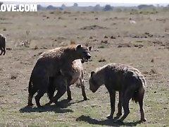 Hyenas Mating Barnlovecom[mp4]
