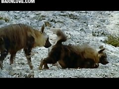 Brown Hyena Female Presenting Barnlovecom[mp4]